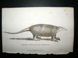 Shaw C1810 Antique Print. Greater Twelve-Banded Armadillo